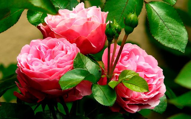 Una rosa siempre en mi jard n for Viveros del valle